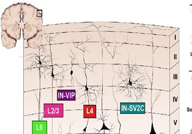 A Cellular Resolution Census of the Developing Human Brain